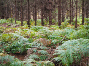 Ferns in the foreground with pine trees rising up behind them in Thetford Forest